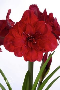 Amaryllis Dutch 'Double Dragon' Amaryllis