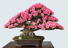 Pink Blossom Bonsai Tree Seeds