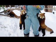 Red pandas have got apples and grapes in the guide by keeper. Малая панда . 円山動物園のレッサーパンダ、ココ(母/8歳)、ホクト(オス/6ヶ月)、キン(メス/2歳)。 今日は特に、空腹だったのか? ココは、キンを押しのけて、食べていました...