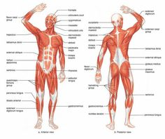 human muscle anatomy diagram | Human Muscles Anatomy are given Latin names according to location ...: