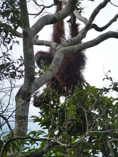 The rescued orangutan after his relocation expedition!