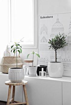 comment planter un olivier et un avocatier en pots et en décorer la maison scandinave