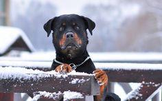Winter, Rottweiler dog, stare, animal wallpaper