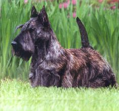 ⏪ Scottish Terrier ⏩ Originally bred to hunt and fight badgers, the Scottie is prone to dig as well as chase small vermin, such as squirrels, rats, and mice. It has been suggested that the Scottish Terrier can make a good watchdog due to its tendency to bark only when necessary and because it is typically reserved with strangers, although this is not always the case.