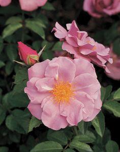 Hardy Climbers Rose