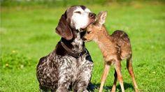 Dog and baby deer animals friendship hd wallpaper hd nature Animals And Pets, Baby Animals, Funny Animals, Cute Animals, Nature Animals, Wild Animals, Love My Dog, Orang Utan, Tier Fotos