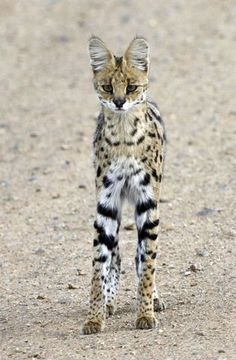I think this is a serval cat.