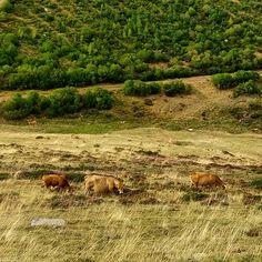 Vacas camufladas.