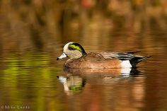 Wigeon on fall pond | Flickr - Photo Sharing!