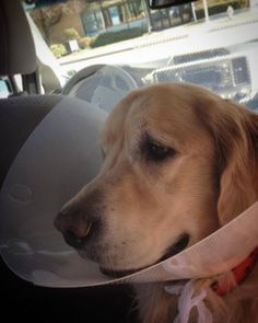 I'm back from the vet a day early! This cone is annoying though  #ilovegolden_retrievers #dog #dogs #puppy #goldenretriever #golden #goldendog #puppy #pup #puppies #adorabledog #cutedogs #cutedog #goldenretrieversofinstagram #goldie #wetdog #dogsofinstaworld #dog_features #dogscorner #sendadogphoto #vet #vetvisit #puppydoctor #dogcone #dogdoctor #doctordog #vetdoctor #allbetter #happydoggy #happypuppy  by that_golden_puppy  http://bit.ly/teacupdogshq