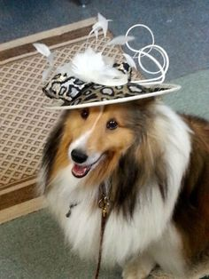 Sheltie ready for the Kentucky Derby! Needs a Mint Julep!