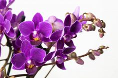 Bloem Orchidee Multiflora Little Purple - Paars