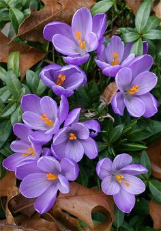 March Crocus