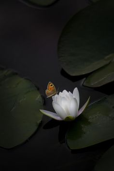 Water Lily and Butterfly by Mark Lissick on 500px.com