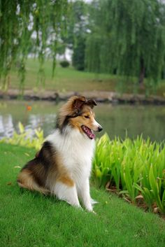 Pretty young sable sheltie