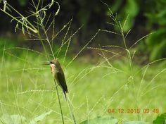 Blue Tailed Bee-Eater Bishan-Ang Mo Kio Park