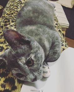 ヒョウ柄とミレ。 おはようございます😊 今日も良き一日になりますように。 #ladycatmire #nyanstagram  #cat  #子猫 #こねこ #こねこ部  #保護猫 #うちの猫  #ねこちゃん  #グレー三毛猫  #にゃんこ #ねこさま #ねこ部  #ねこすたぐらむ #にゃんすたぐらむ #にゃんすた  #にゃんだふるらいふ  #愛猫 #愛猫🐈  #고양이  #냥스타그램 #고양이스타그램  #양
