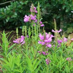 Physostegia virginiana (Obedient Plant)