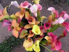 Bright or Pastel Mini Callas ~ Annual if you don't dig bulb up and store