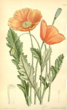 4630 Papaver rupifragum Boiss. & Reut. var. atlanticum / Curtis's Botanical Magazine, vol. 116 [ser. 3, vol. 46]: t. 7107 (1890) [M. Smith]