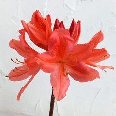 ツツジ:レンゲツツジ橙花(カバレンゲ・樺レンゲ)3.5号ポット