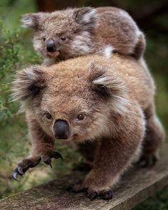 Both baby and momma Koala are doing the creep ahaha
