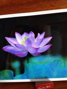 91614 昨日 Y永さん 写真展に行けぬと連絡 親切に展示されてた作品をおいらの部屋迄持って来られる 熊本・山鹿市で撮られた古代蓮