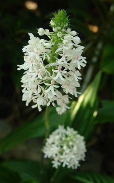 Calanthe australasica - Natal Orquídea que cresce no meu jardim! Australian.