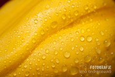 tulips, flowers, yellow, water drops
