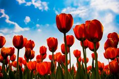 Red tulips when I die