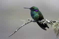 Beija-flor-de-orelha-violeta by Sandro Henrique