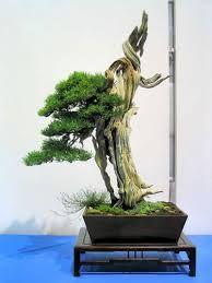 Resultado de imagen para rosemary bonsai