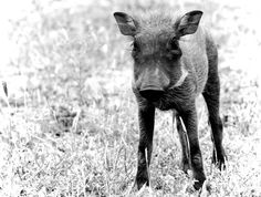 A tiny little Warthog piglet. There were piglets with their mother munching on the wet grass after a heavy rain. They didn't mind the car being so close to them, but shot off as soon as they heard the sound of my camera taking the picture. Photographed at The Kruger National Park.
