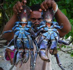 Coconut Crab El Cangrejo de Coco es el antropodo mas grande, conocido por su habilidad de abrir cocos con sus pinzas. Principalmente se encuentra en el Oceano Indico y Pacifico.
