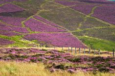 wouldn't it be wonderful to visit scotland when the heather is in bloom?