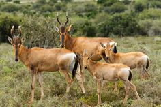 The Family - Red Harte-beest - Alcelaphus buselaphus caama The Family - Alcelaphus buselaphus caama - The red hartebeest is a species of even-toed ungulate in the family Bovidae found in Southern Africa.
