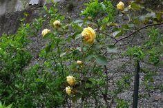Duchesse d'Auerstadt climbing rose