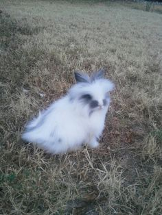 Lionhead rabbit. So adorable