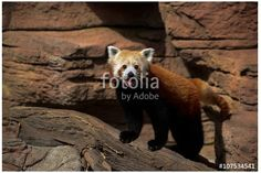 The smiling Red Panda is a small bear cat of China and the Himalayas. Photo is available at https://us.fotolia.com/id/107534541
