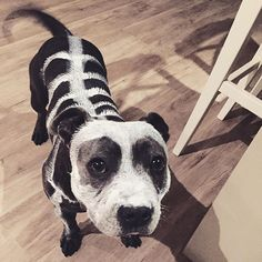 Philly the Staffy being a skeleton on Halloween. The Blueboys on instogram