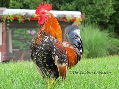 Mille Fleur Serama cockerel. Brutus. ~The Chicken Chick