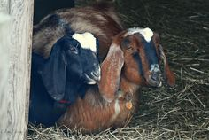 Happy Together. Daughter (black and white) and mother are often nestled up next to one another. Keeping Goats, Happy Together, Small Farm, Creatures, Daughter, Horses, Photo And Video, Black And White, Animals