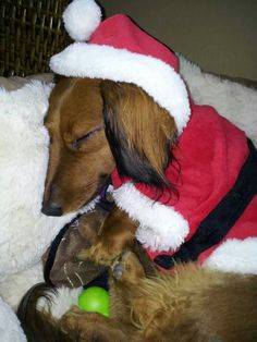 .Christmas doxie.