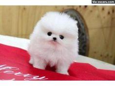 Tiny Teacup Pomeranian Puppies For Adoption