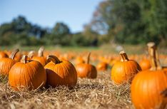 As we enter the weekend, be sure to stop by a pumpkin patch near you! We hope you have a safe and exciting weekend! Let us know in the comments how your pumpkin patch visit went. Pumpkin Picking, A Pumpkin, Pumpkin Recipes, Grants Farm, Best Pumpkin Patches, Corn Maze, Organic Fruit, Autumn Activities, Fruit And Veg
