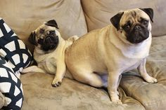 Doug the Pug is still learning that his sister Scout is NOT for sitting on!