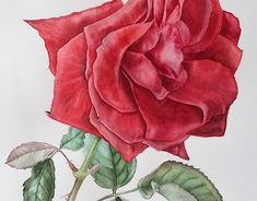 """Check out new work on my @Behance portfolio: """"Red rose"""" http://be.net/gallery/60579047/Red-rose"""