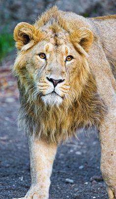 Kuvam looking hesitant by Tambako the Jaguar on Flickr. #Regal#Lion