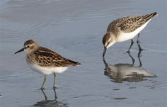 Least Sandpiper -- Fall Shorebirds of Seapoint