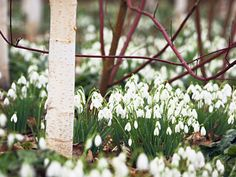 It's been a long, cold, lonely winter so make the most of the first sign of the new season --   Snowdrops --  Dunham Massey, Greater Manchester, England